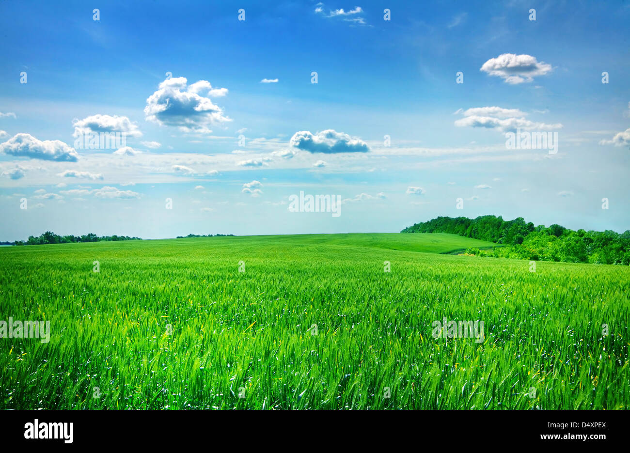 Young green wheat field with sky - Stock Image