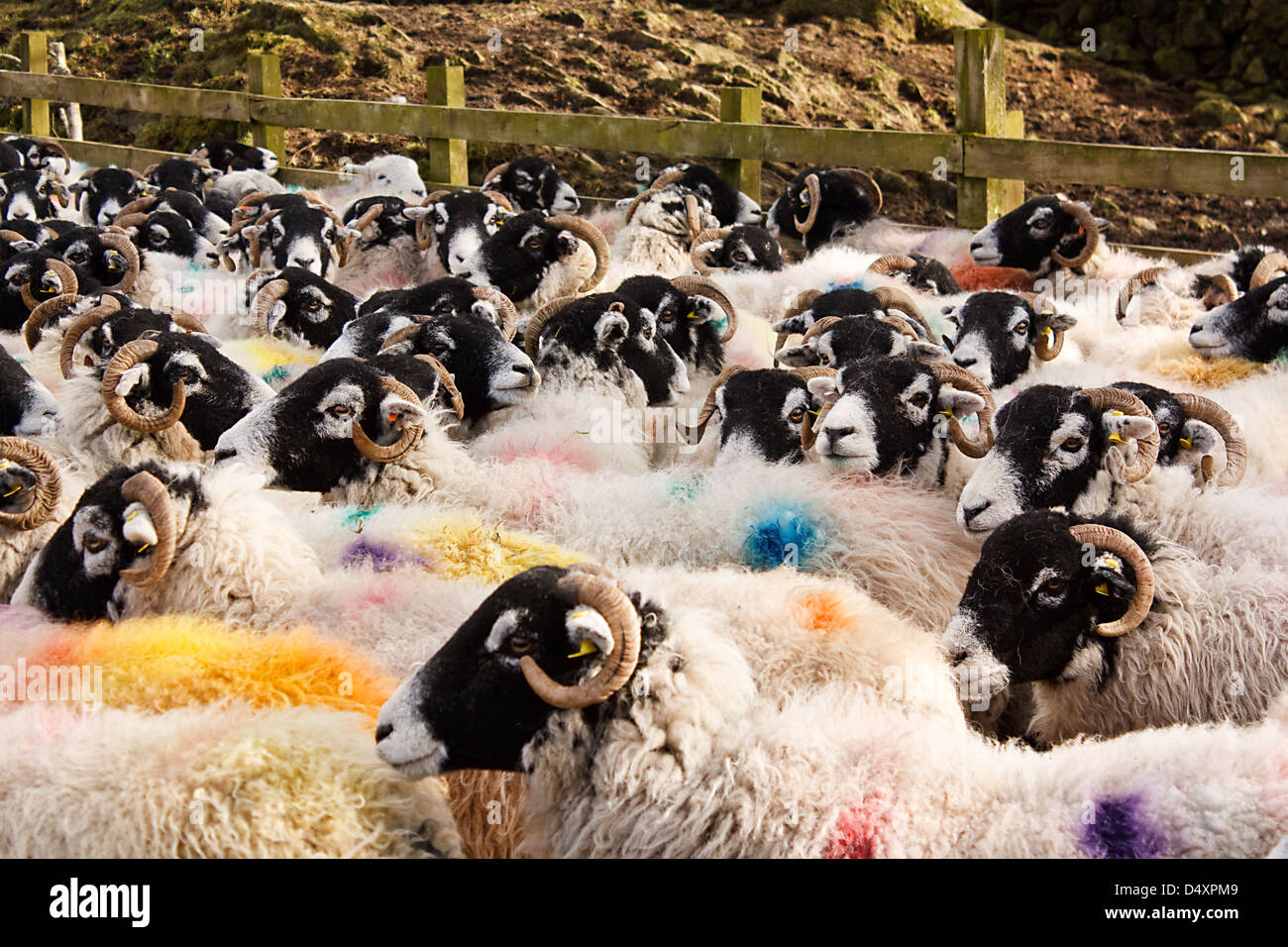 Herd of Swaledale sheep a common domestic farm animal all stock marked for identification before going to market - Stock Image