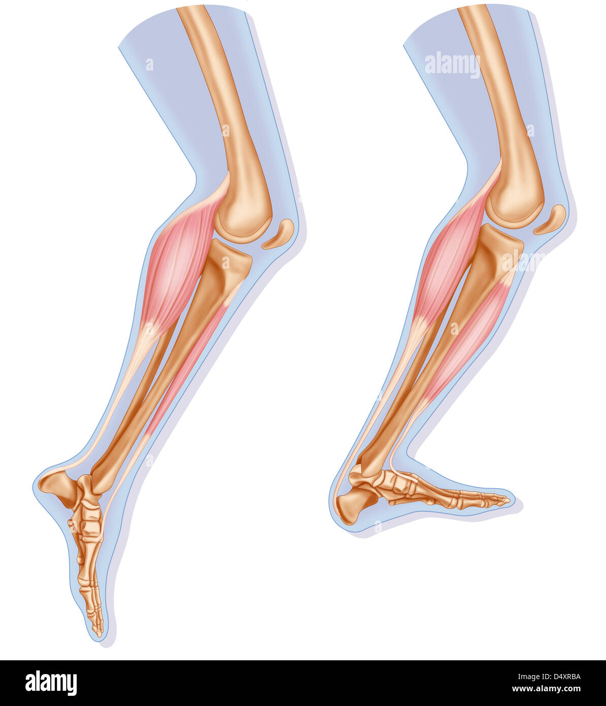 Lower Limb Muscle Stock Photos & Lower Limb Muscle Stock Images - Alamy