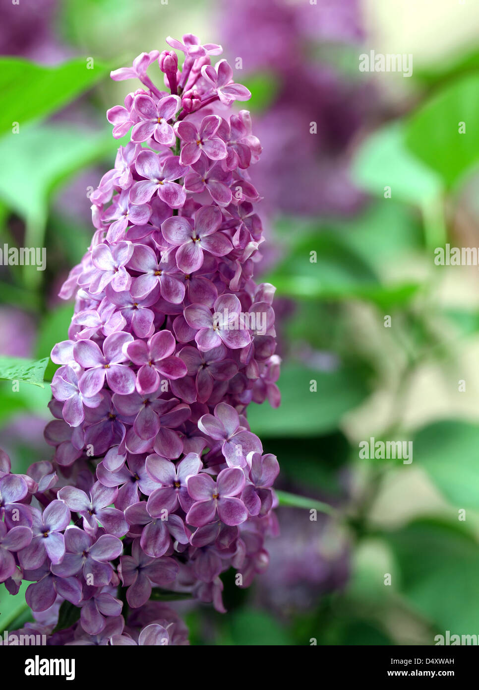 Green branch with spring lilac flowers - Stock Image