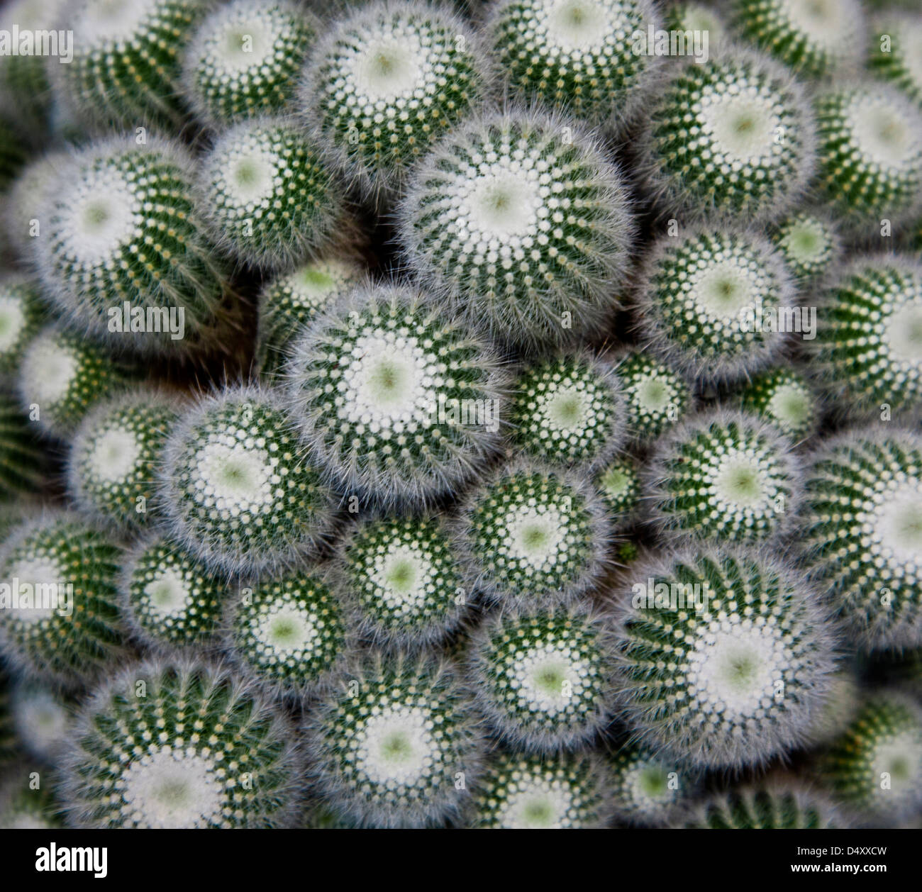 close up abstract pattern of cactus succulents with thorns in a planter pot, potted, USA, US, connected images - Stock Image