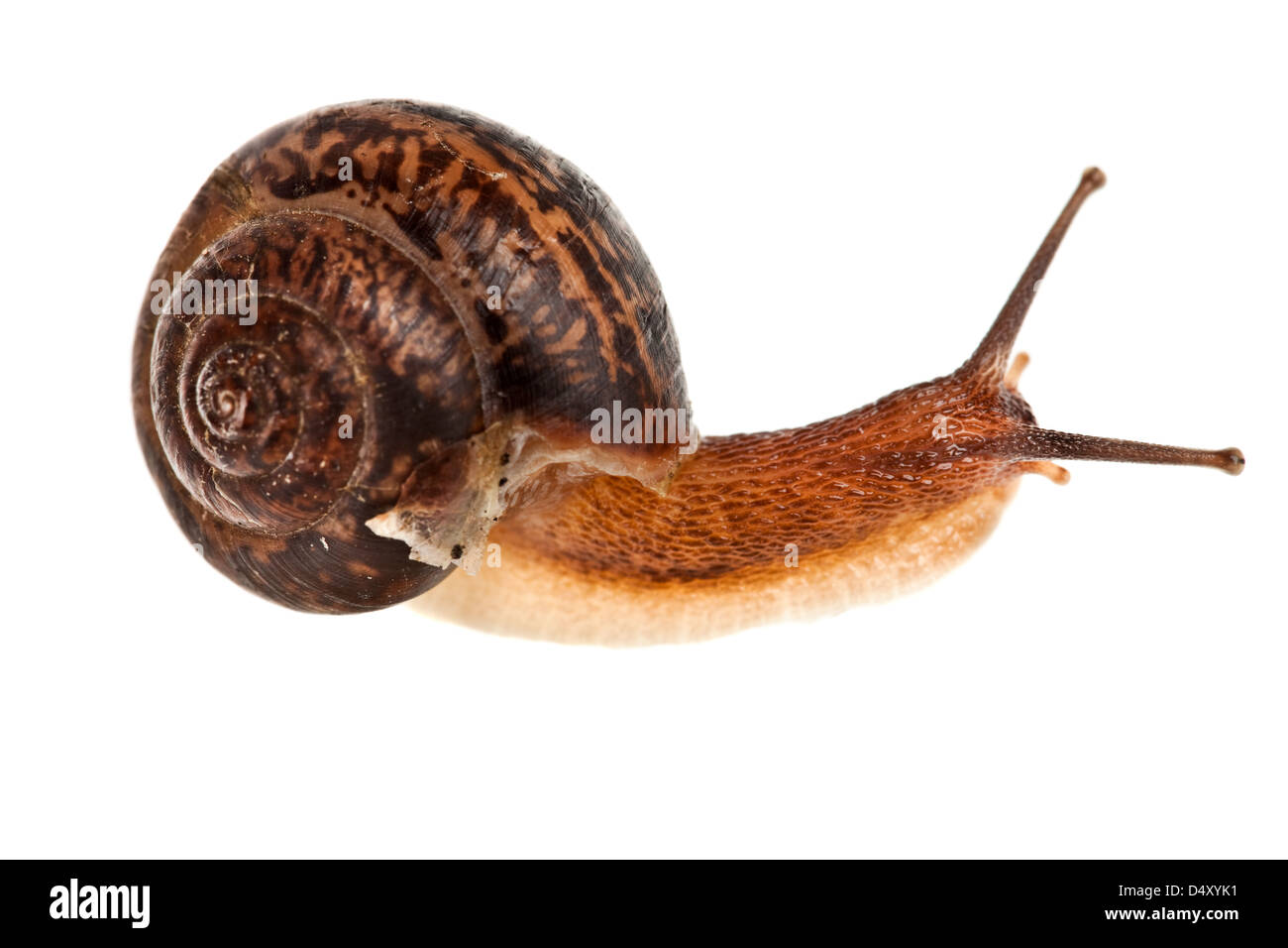 edible snail on a white background Stock Photo