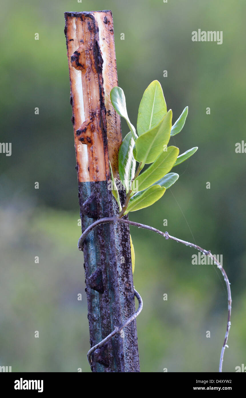Vine growing on fencepost, Anegada, British Virgin Islands. - Stock Image