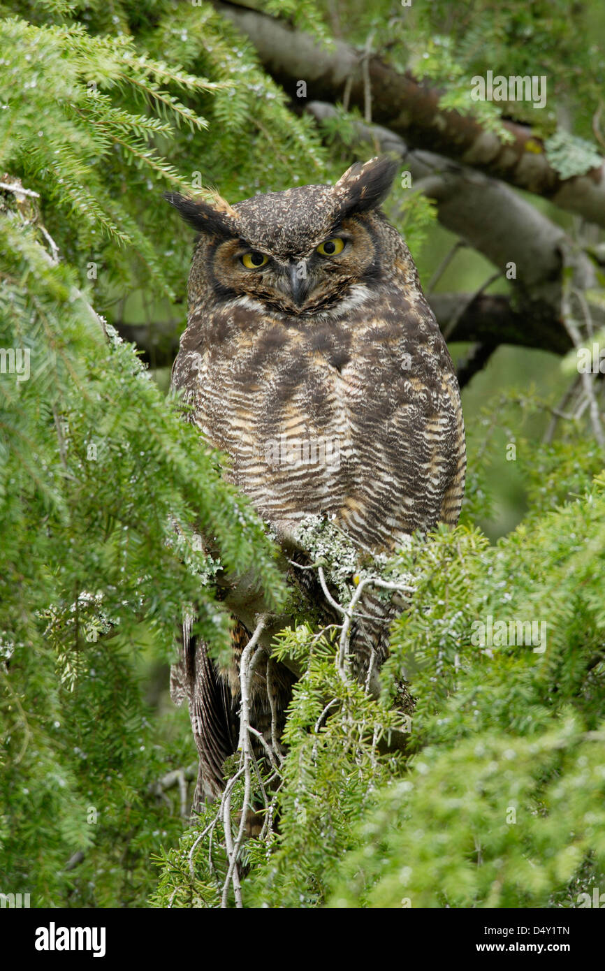 Great horned owl roosting in fir tree near nest-Victoria Vancouver Island British Columbia Canada - Stock Image