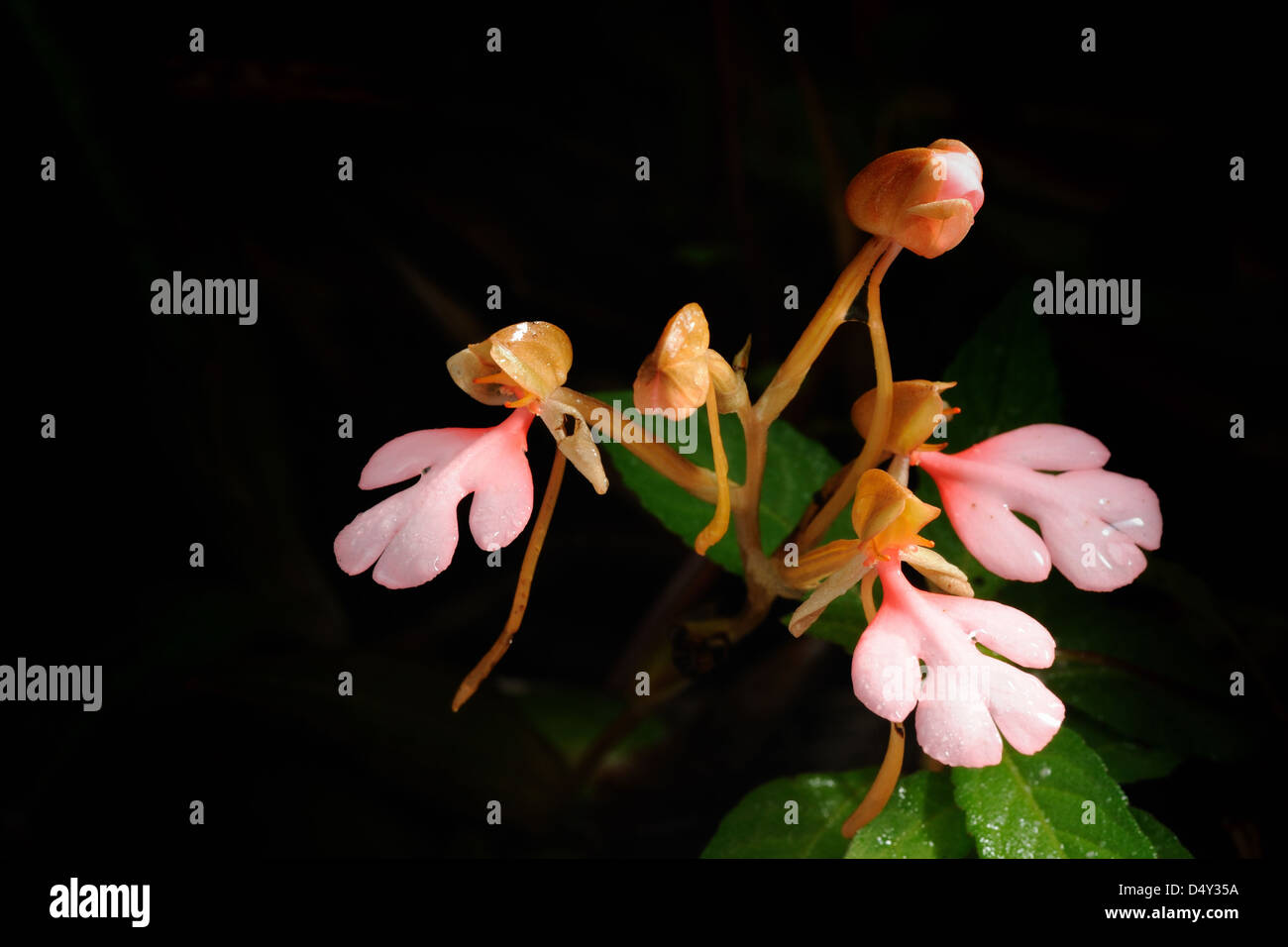 The Pink-Lipped Habenaria (Pink Snap Dragon Flower) found in tropical rain forests,NationalPark Thailand. Stock Photo