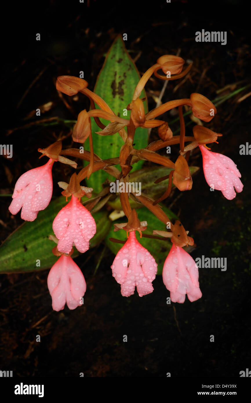 The bouquet Pink-Lipped Habenaria (Pink Snap Dragon Flower) found in tropical rain forests, Thailand. Stock Photo