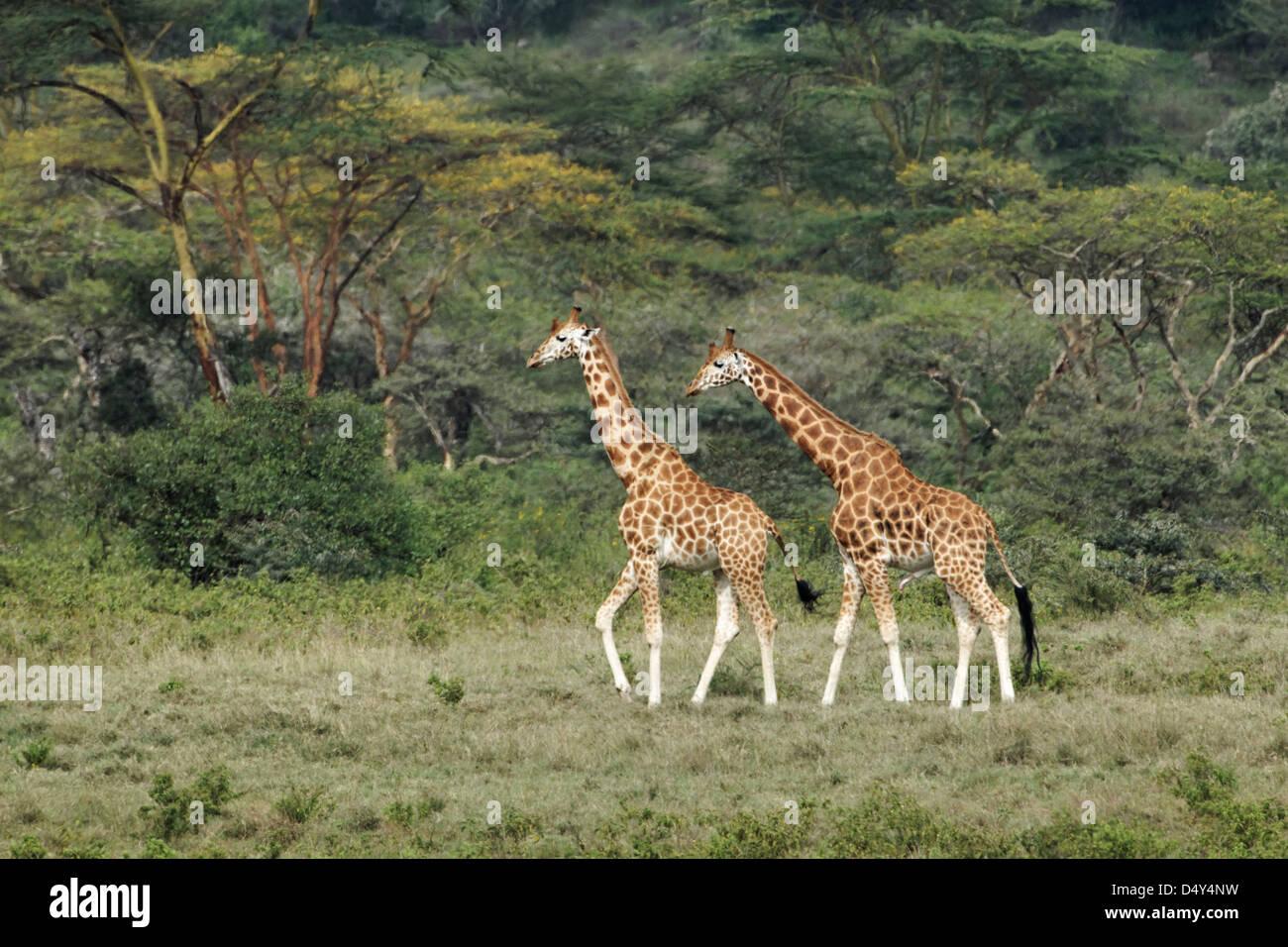 Rothschild's Giraffe, Lake Nakuru National Park, Kenya - Stock Image