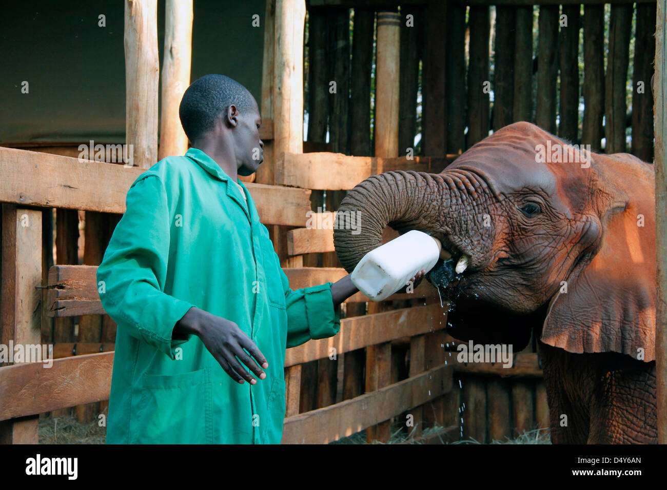 Africa, Kenya, Nairobi. Caretaker bottle feeds orphaned baby elephant at David Sheldrick's Wildlife Trust. - Stock Image