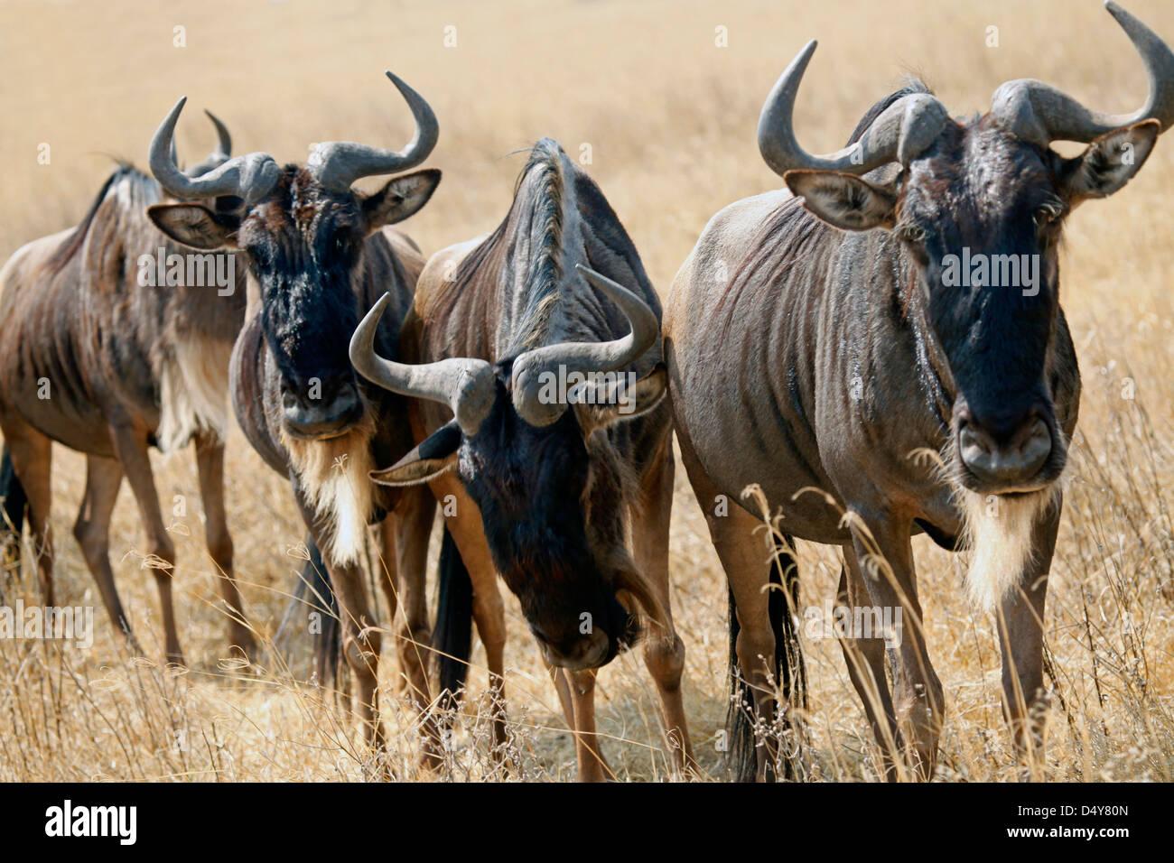 Tanzania, Ngorongoro Crater. Grazing Wildebeest. - Stock Image