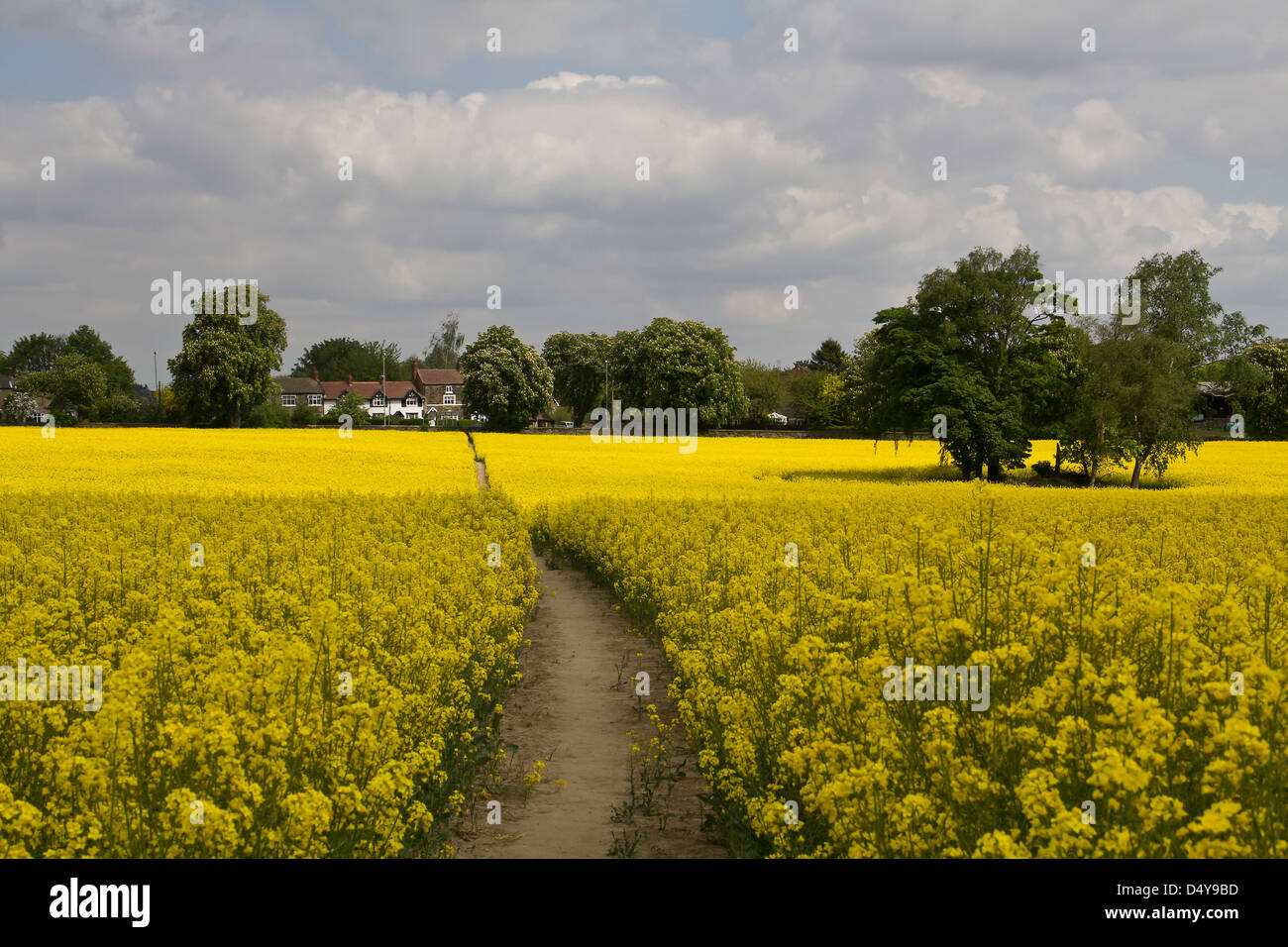 A lovely path through a vibrant field of Rapeseed - Stock Image