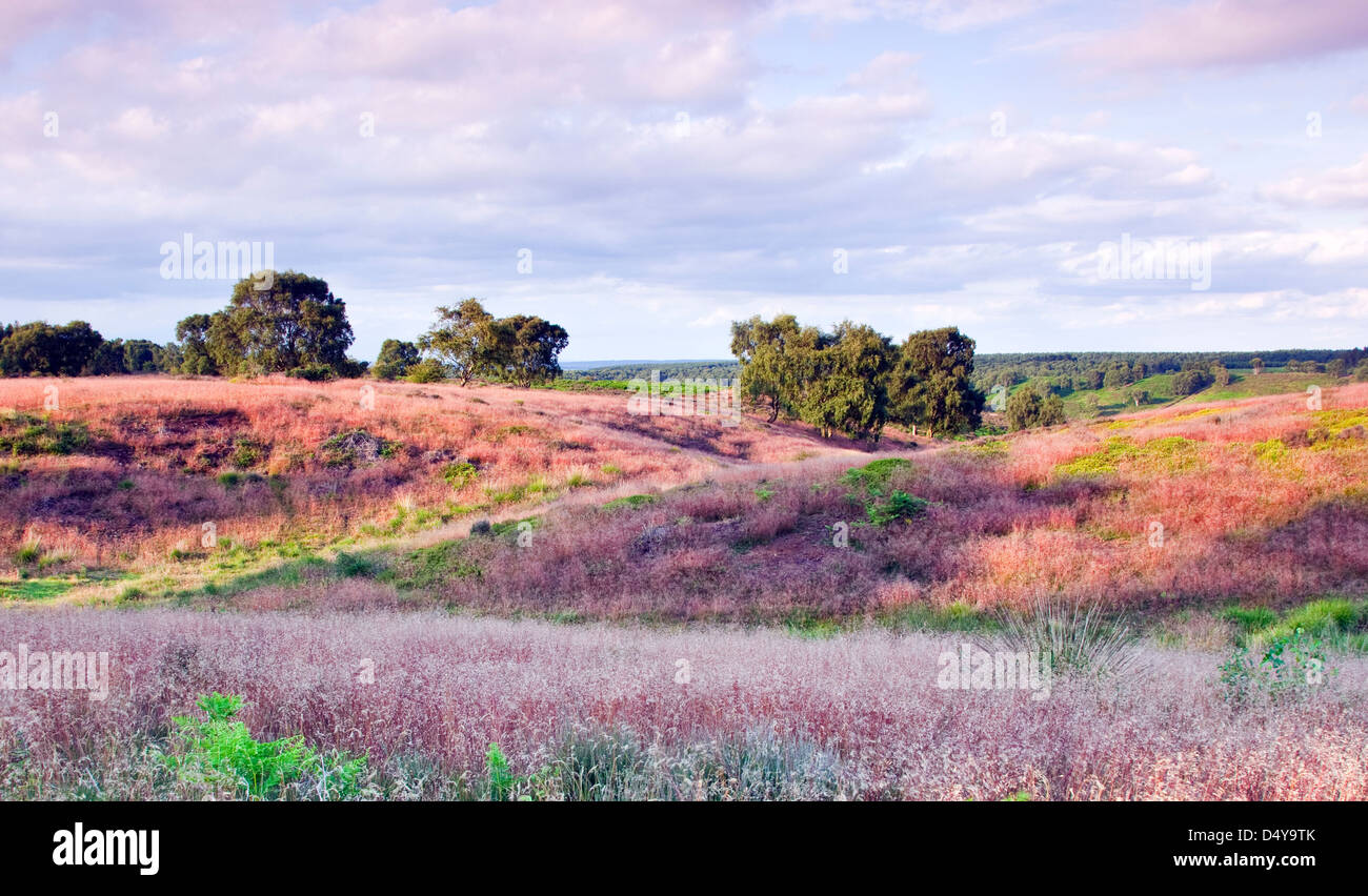 Red stemmed wild grass with pale pinkish flowers in summer Brocton field Cannock Chase Country Park AONB - Stock Image