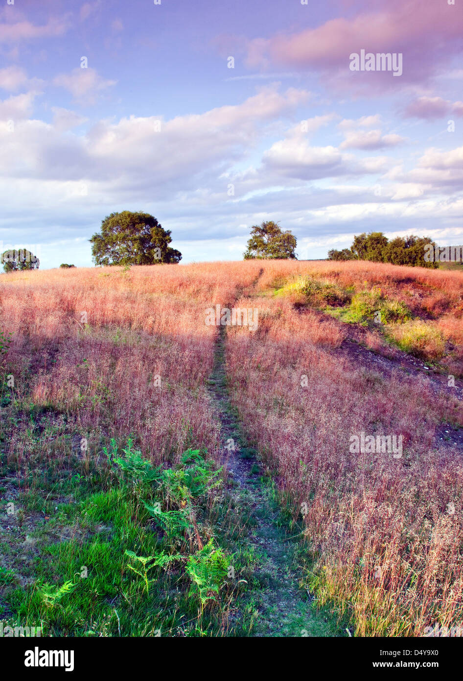 Path through red stemmed wild grass with pale pinkish flowers in summer Brocton field Cannock Chase Country Park - Stock Image