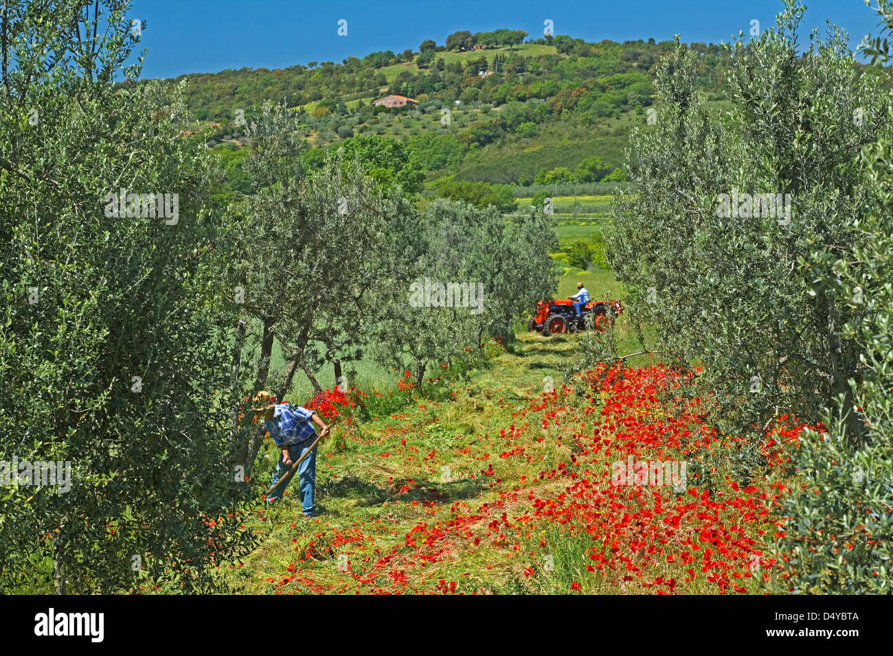 Tuscany - Farmers cutting back poppies under Olive trees near San Giminiano - Stock Image