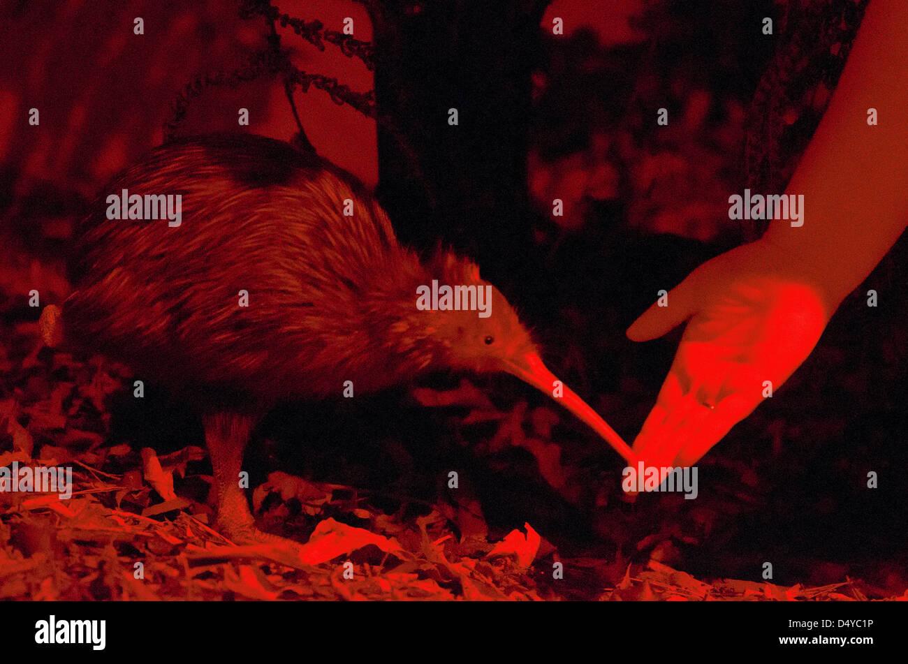 Human hand feeds a Kiwi. - Stock Image