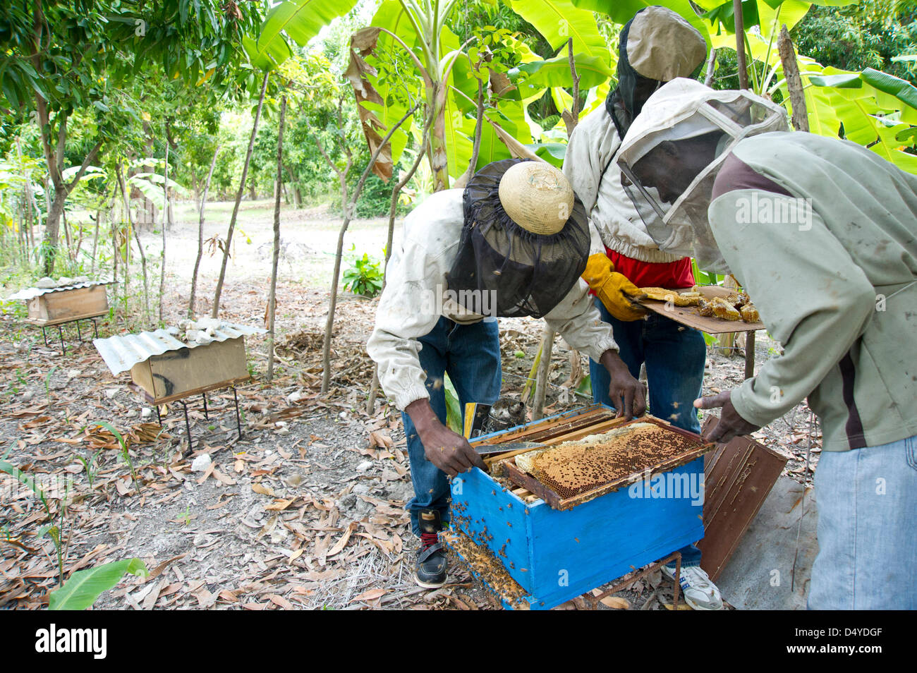 March 4, 2013 - Cote Des Arcadins, Haiti - March 4, 2013, Cote des Arcadins, Haiti - Beekeepers collect honeycomb - Stock Image