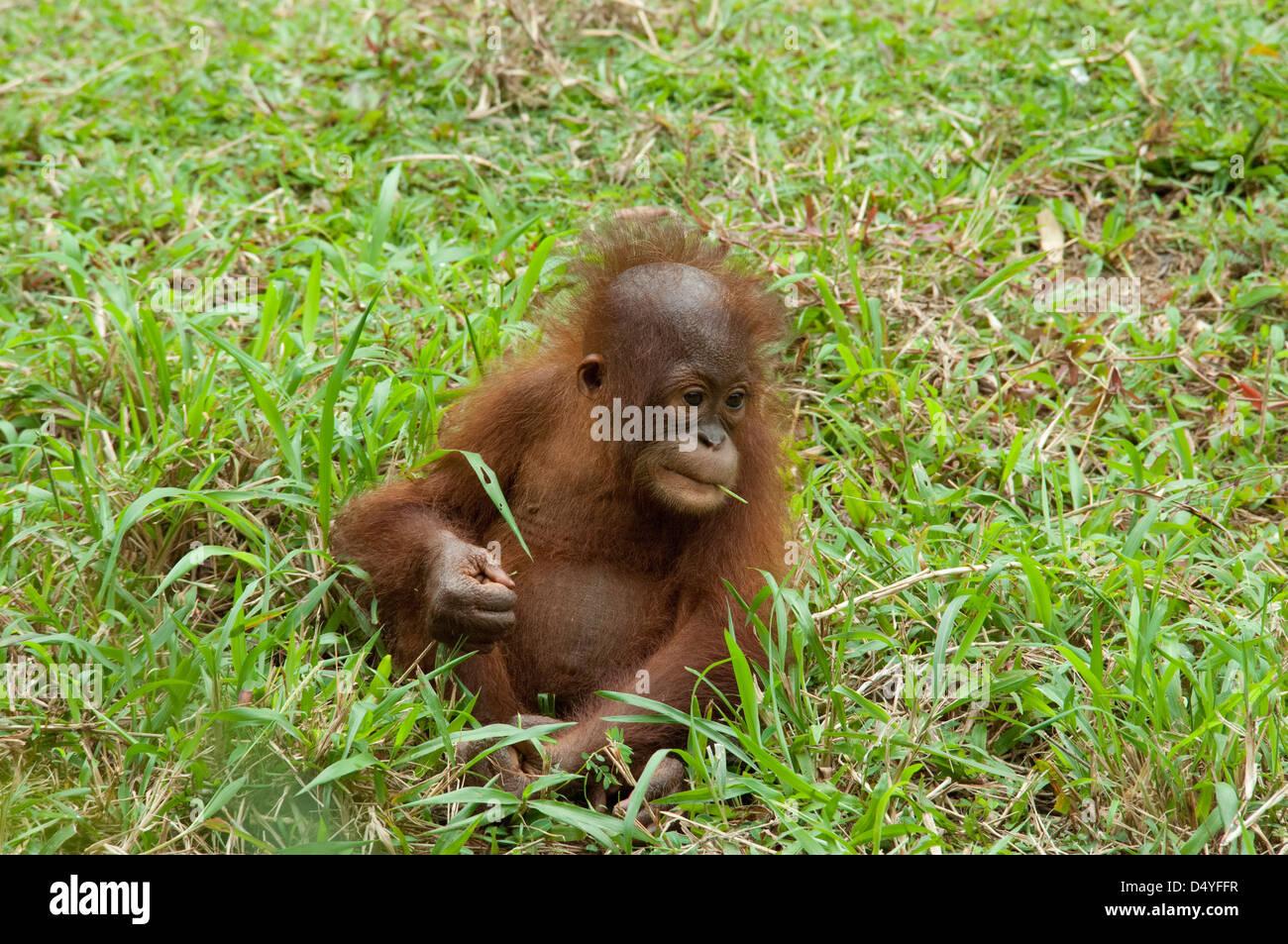 Malaysia, Island of Borneo, Sabah, Kota Kinabalu, Lok Kawi Wildlife Park. Baby Bornean Orangutan. - Stock Image