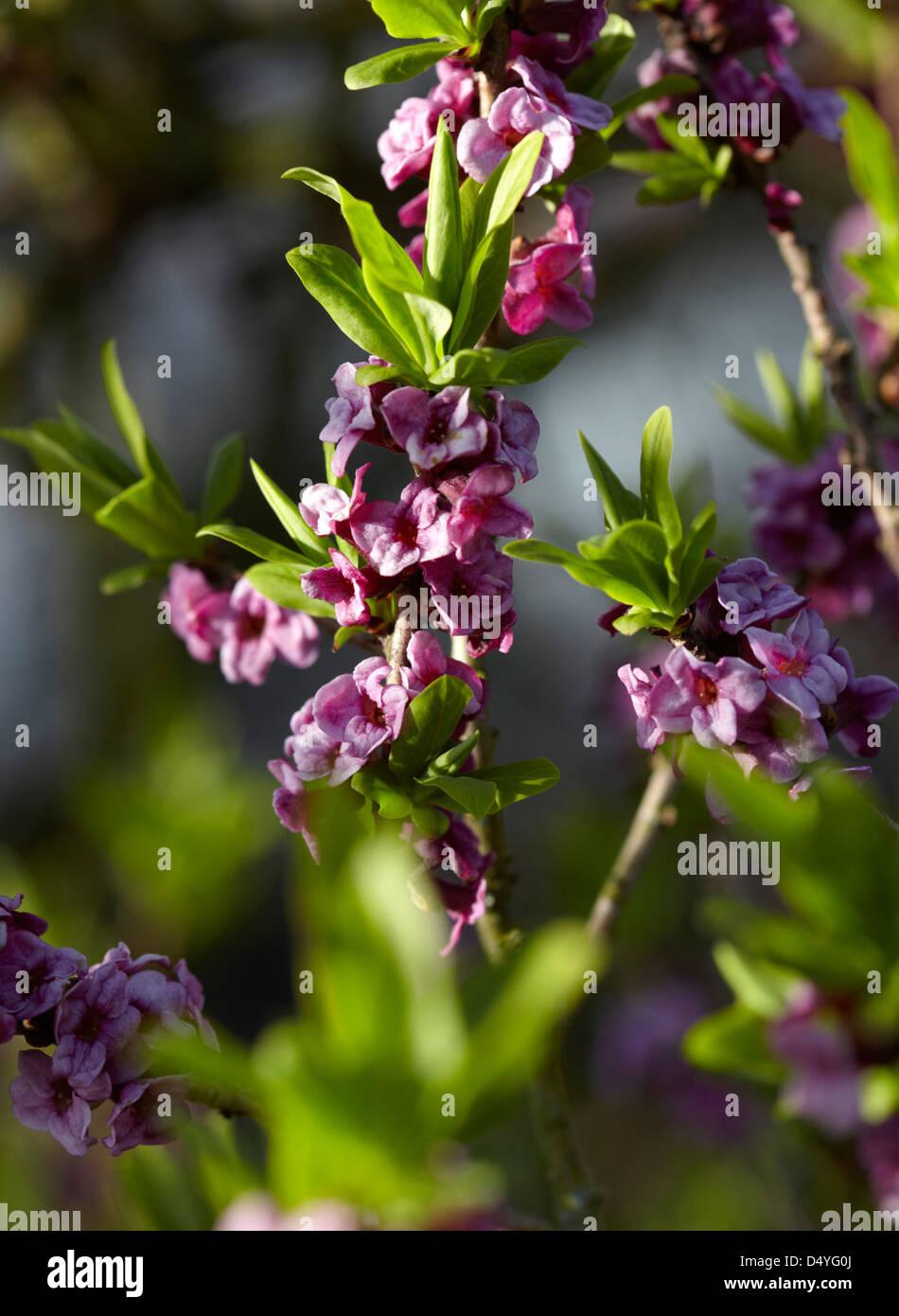 Flowers of Daphne plant - Stock Image