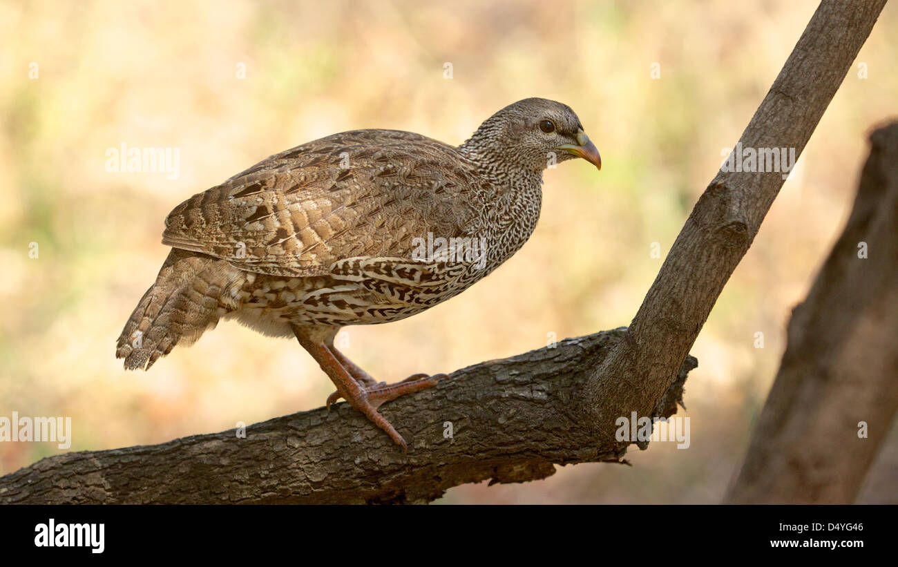 The Natal Spurfowl or Natal Francolin (Pternistis natalensis) is found in Botswana, Mozambique, South Africa, Swaziland, Stock Photo