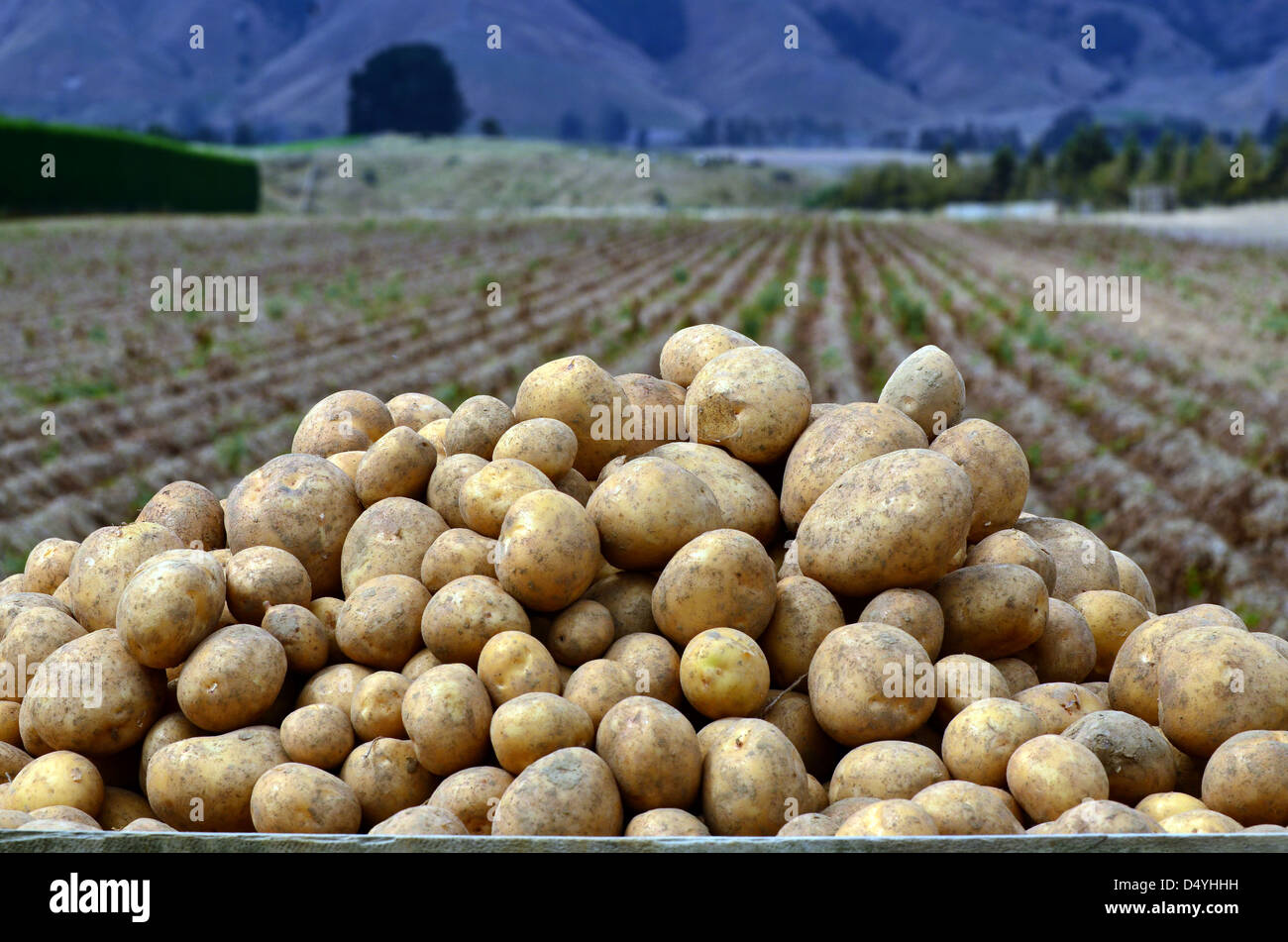 Fresh potatoes inside a container in a potatoes field at the North Island of New Zealand. Stock Photo