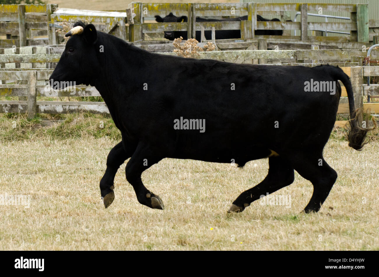 Angry big black bull charges in a farm. - Stock Image