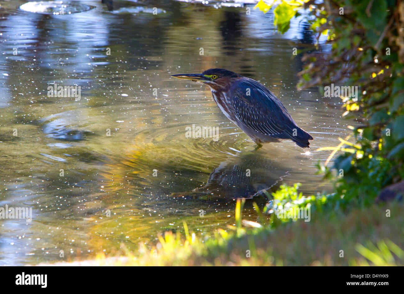 Green Heron (Butorides virescens) standing poised in a pond at Rancho Mirage, California, USA in January - Stock Image