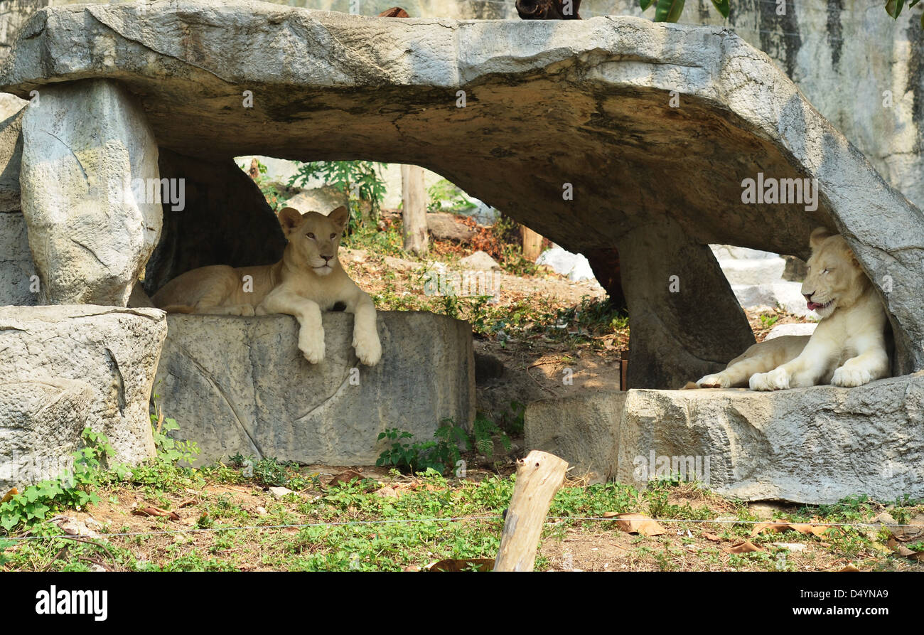 two African lionesses resting in the cave - Stock Photo
