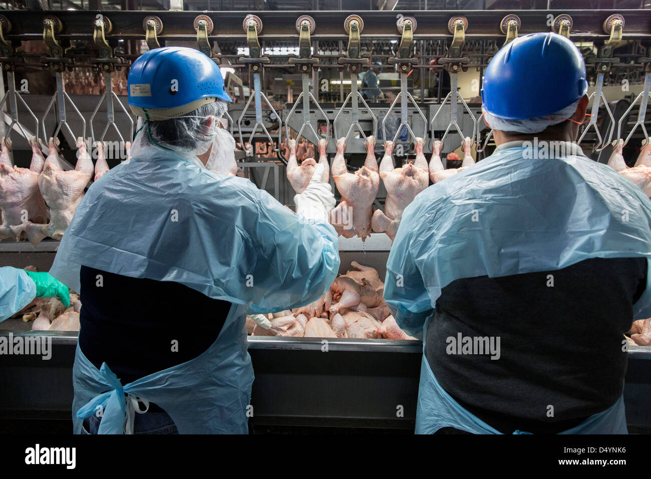 Workers prepare chicken carcasses on the line at a processing plant in Delaware, United States on March 1, 2013. - Stock Image