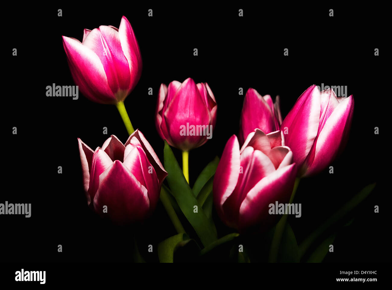 Bouquet Of Pink Tulips Over Dark Background. - Stock Image