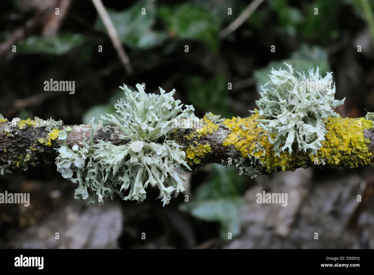 Ramelina fraxinea lichen with fruiting bodies, Wales - Stock Image
