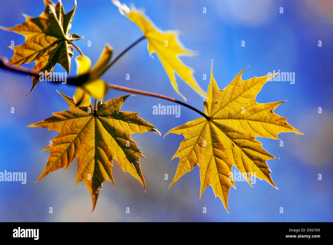 maple leaves - Stock Image