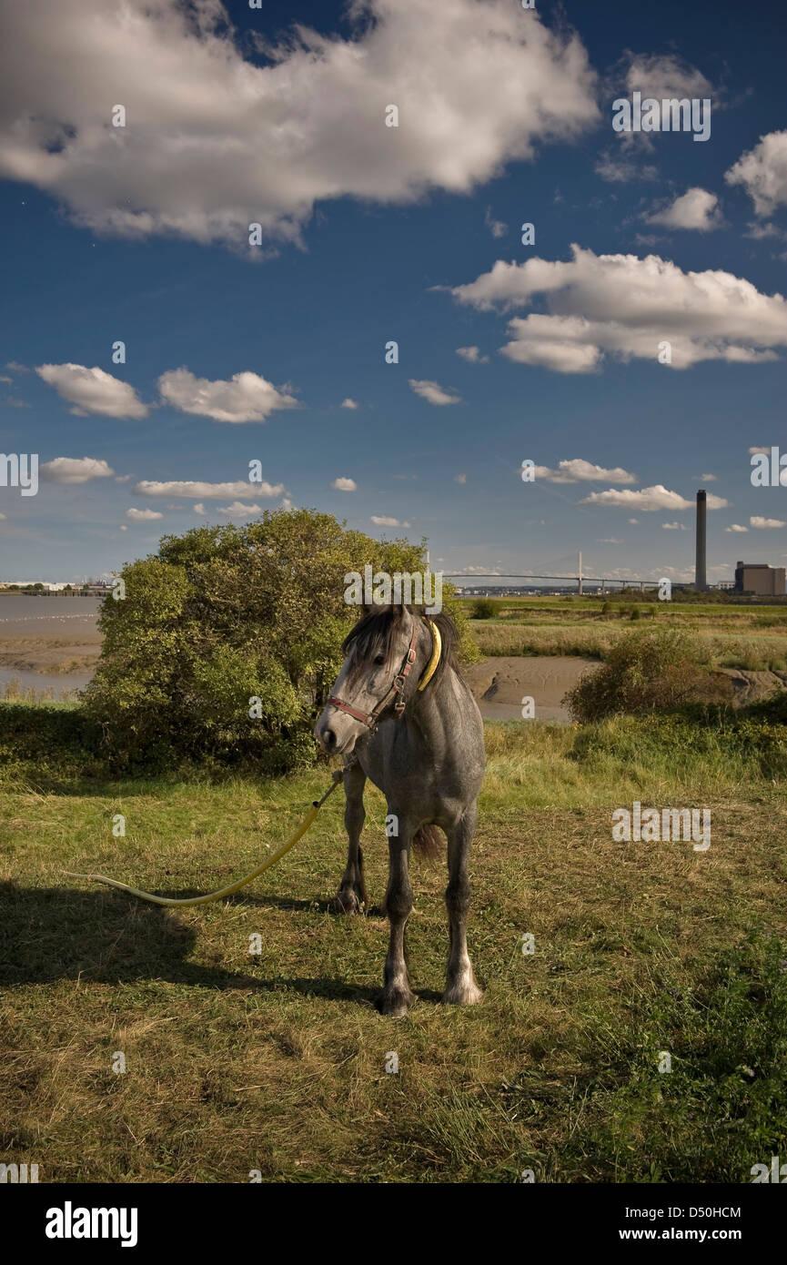 A horse on Dartford Marshes, Kent, UK - Stock Image