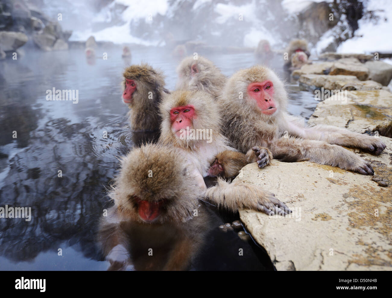 Japanese Snow Monkeys bath in hot springs in Nagano, Japan. - Stock Image