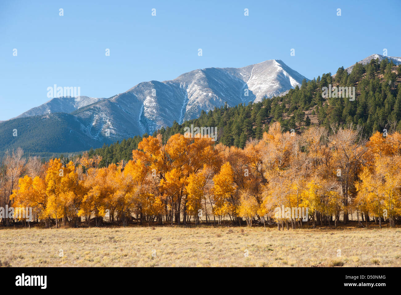 A mountainside full of evergreens with a dusting of snow on Mount Princeton in the background complete this autumn - Stock Image
