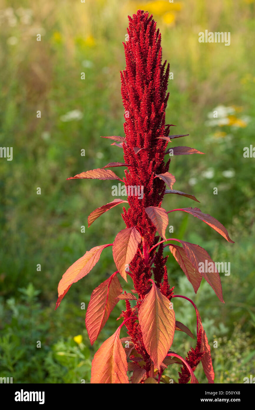 single red flower (Amaranthus) on meadow - Stock Image