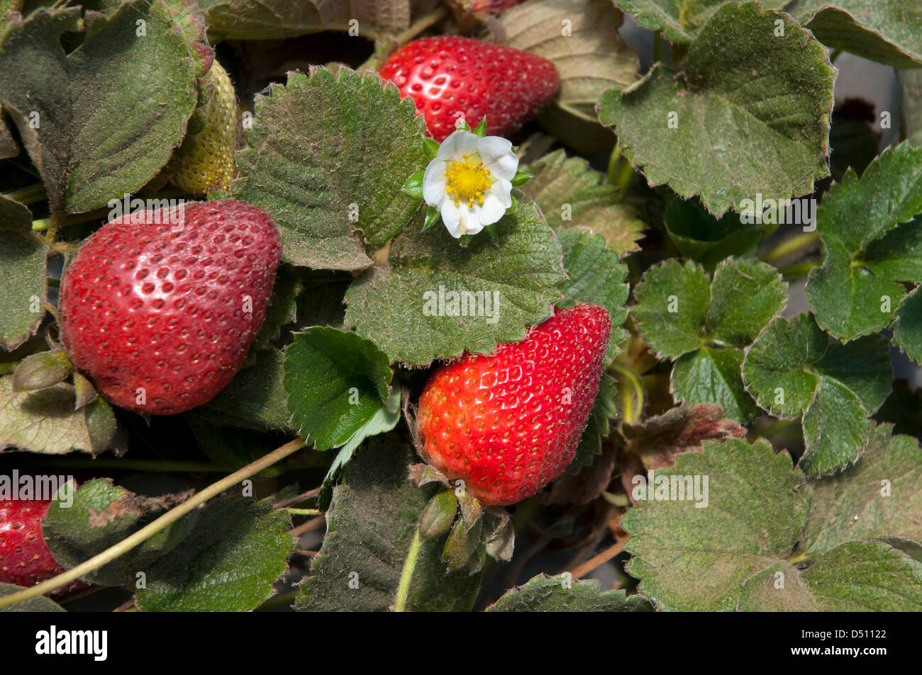 Strawberry Growing inside a greenhouse - Stock Image