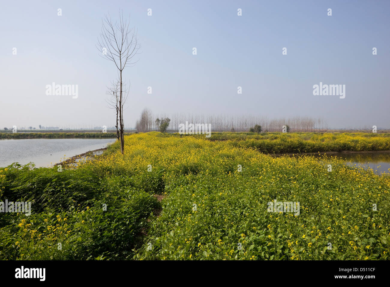 Yellow flowered mustard plants and trees growing  between lagoons at Keshopur Wetlands Punjab India - Stock Image