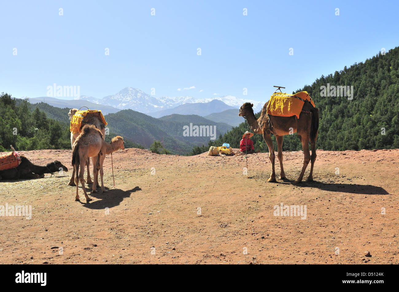 Camels with keeper wait for tourists on route to Setti Fatma  Ourika Valley  Morocco with the High Atlas mountains - Stock Image