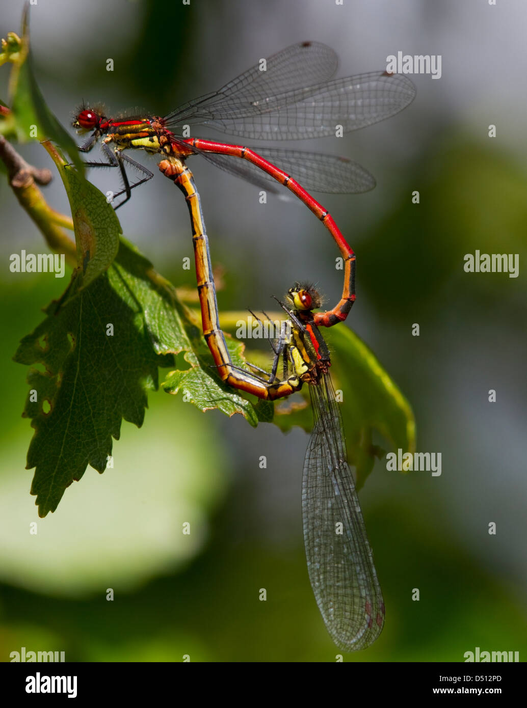 Pyrrhosoma nymphula, Large Red Damselfly  mating forming a heart shape resting on a leaf - Stock Image