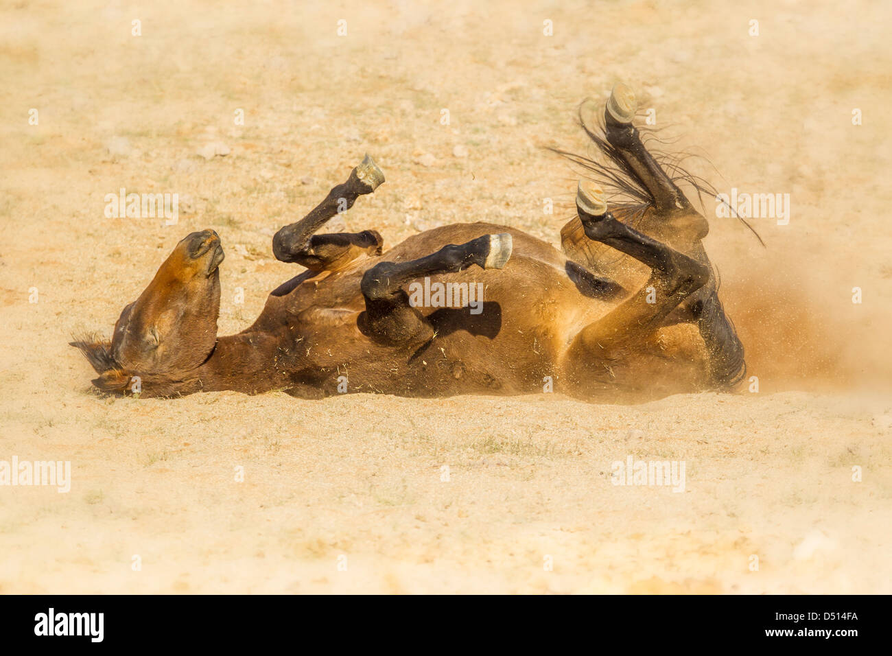Feral horse rolling in the dust of the Namib desert, southern Namibia. - Stock Image