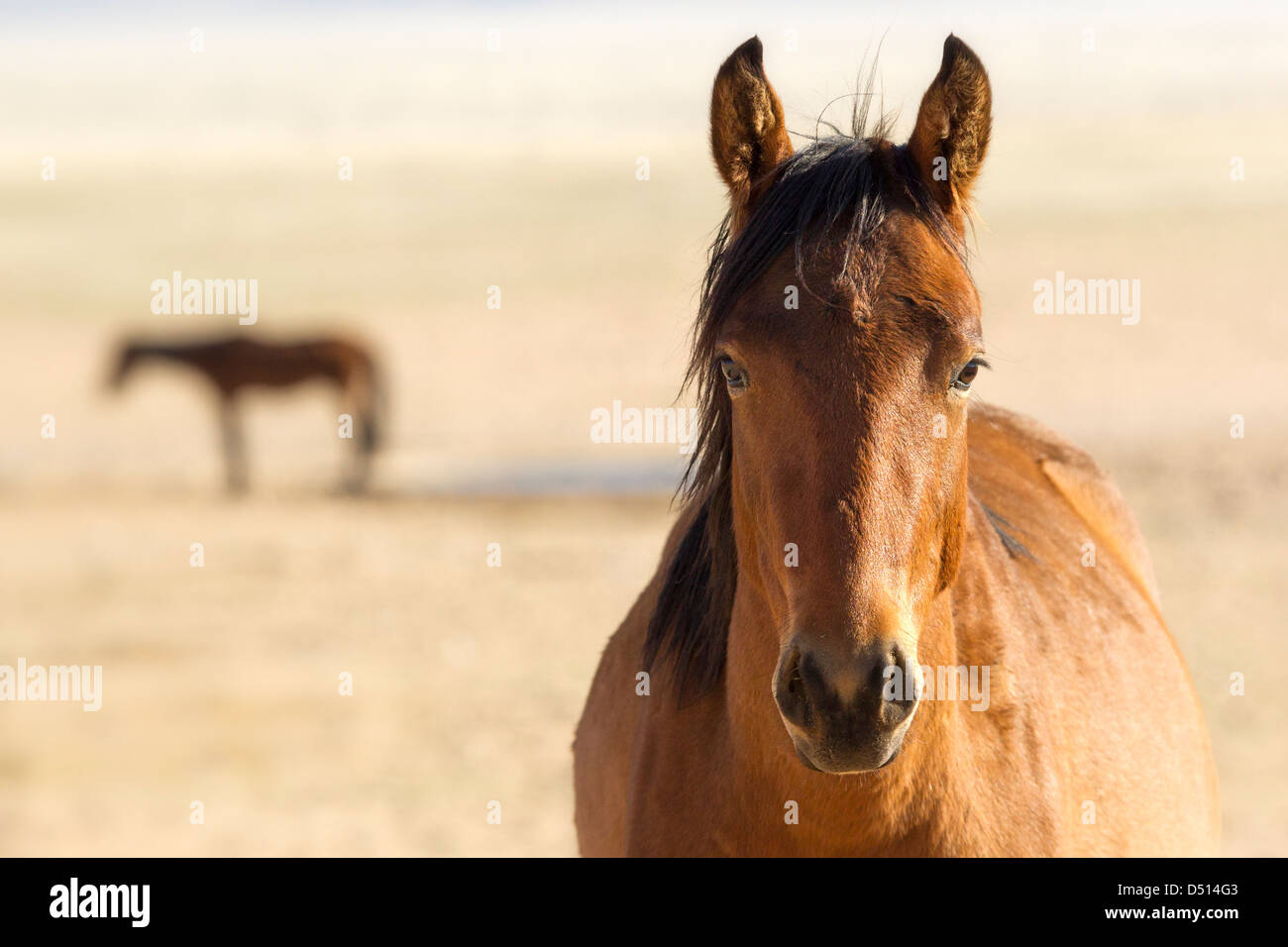 Headshot and distant silhouette of feral wild horses (Equus ferus Caballus) in Namib desert, southern Namibia. - Stock Image