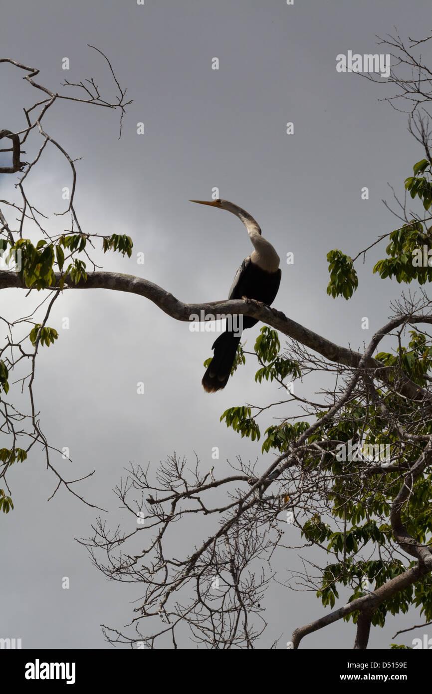 Anhinga, Darter or Snake-bird (Anhinga anhinga). Perched in a tree over the river. - Stock Image