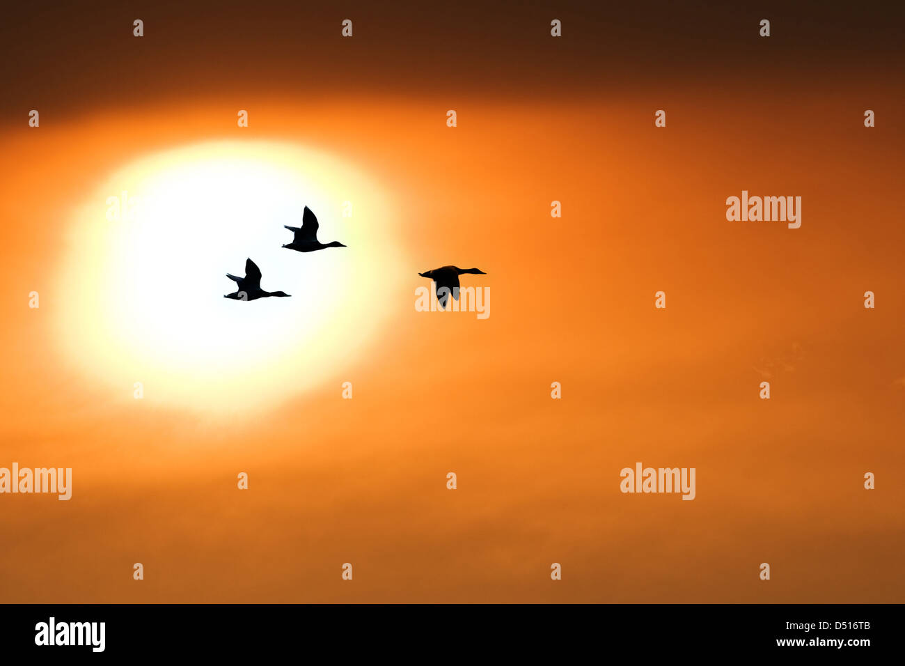 three duck on sunset background - Stock Image