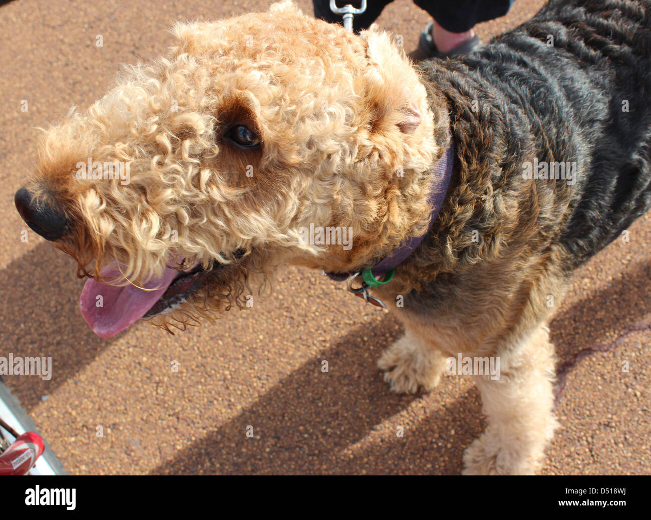A newly clipped  brown shaggy coated Airedale terrier pauses  during his early afternoon walk   in the park. - Stock Image