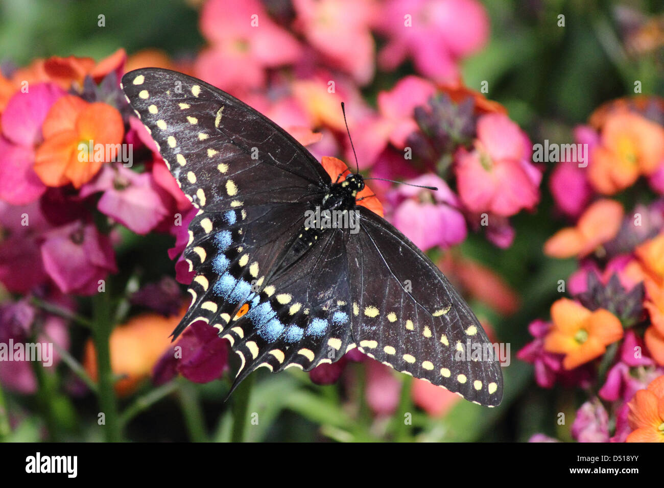 A colorful Eastern Tiger Swallowtail Butterfly feeding on a flower - Stock Image