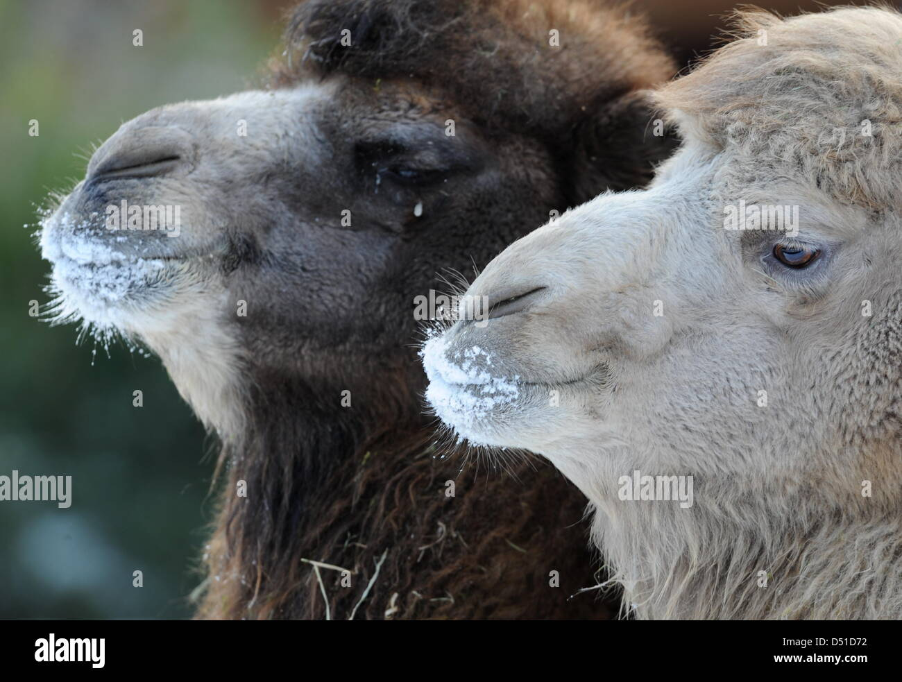 the mouths and noses of two bactrian camels are covered in snow at