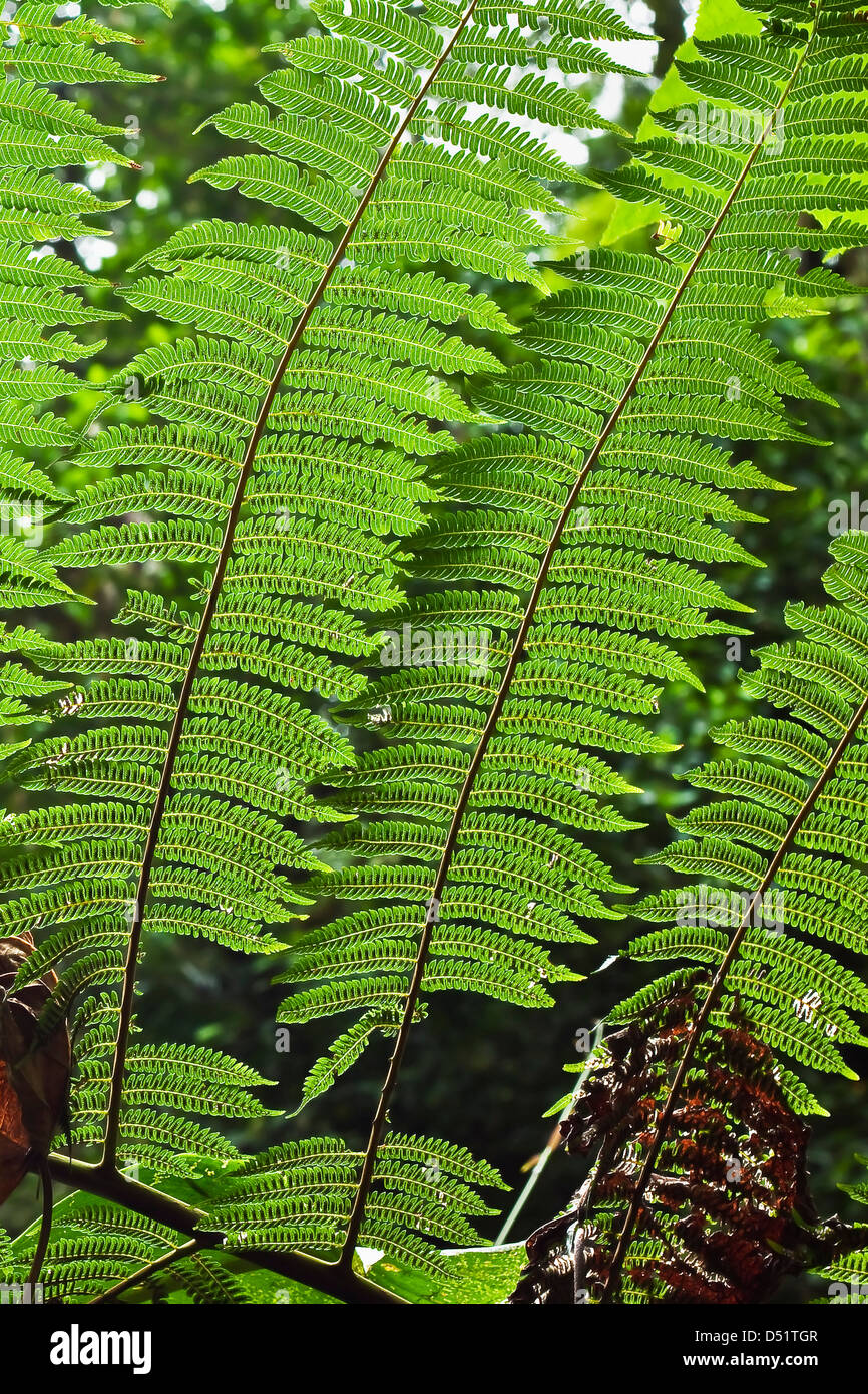 Fern at Arenal Hanging Bridges where the rainforest canopy is accessible via walkways; La Fortuna, Alajuela Province, - Stock Image