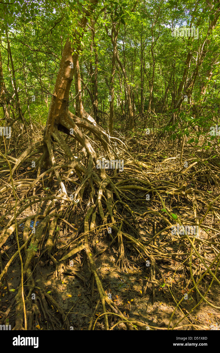Mangrove forest in the Biological Reserve near the Nosara River mouth; Nosara, Nicoya Peninsula, Guanacaste Province, Stock Photo