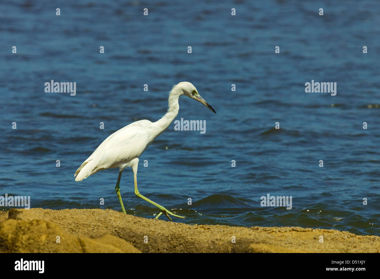 Snowy Egret (Egretta thula) by the Nosara River mouth near the Biological Reserve, Nosara, Guanacaste Province, Stock Photo