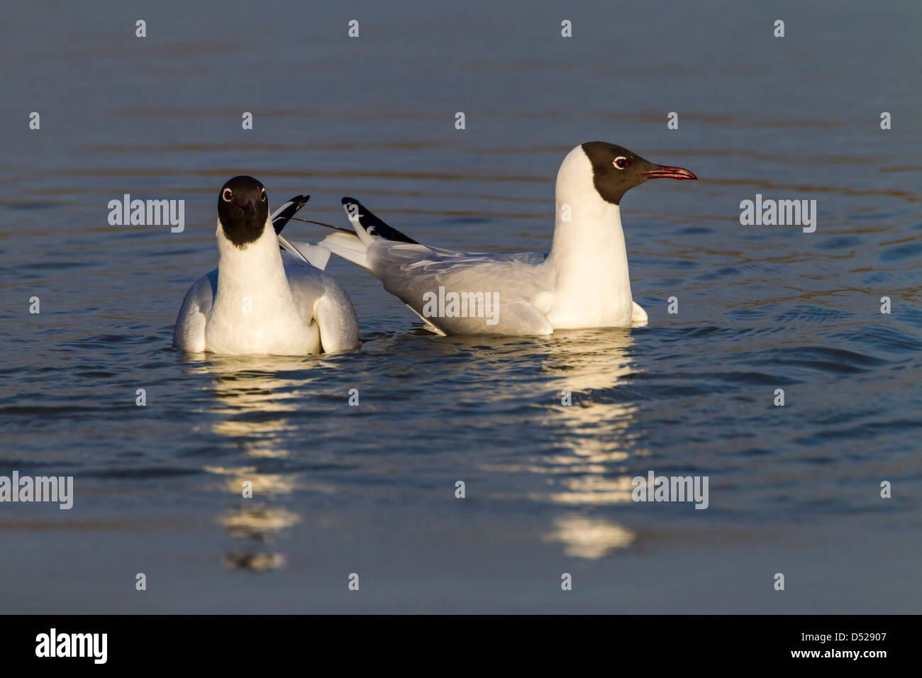 Black-headed Gull. Larus ridibundus (Laridae) - Stock Image