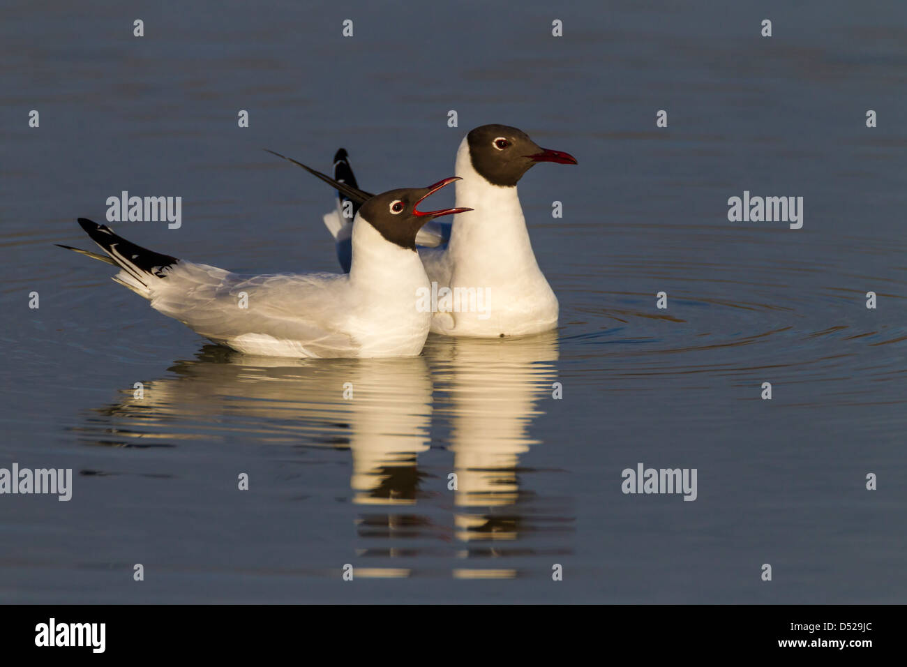 Black-headed Gull. Larus ridibundus (Laridae) - Stock Image